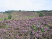 Heather in Wolferton Bog